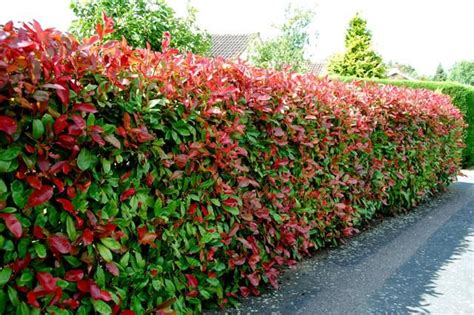 fast growing flowering evergreen shrubs how to use photinia for a hedge fast growing evergreens