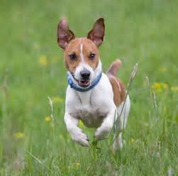 Jack russell terrier terrier information 187 archive for caring for