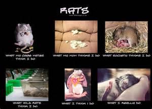Rat Meme - world rat day sunshine scrapbook