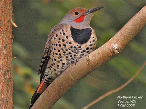 red shafted northern flicker beautiful birds pinterest