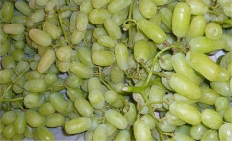 uva da tavola uva uva da tavola