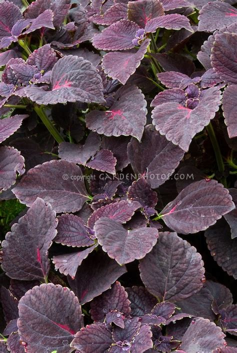dark purple leaf plants solenostemon coleus black prince with dark purple foliage leaves