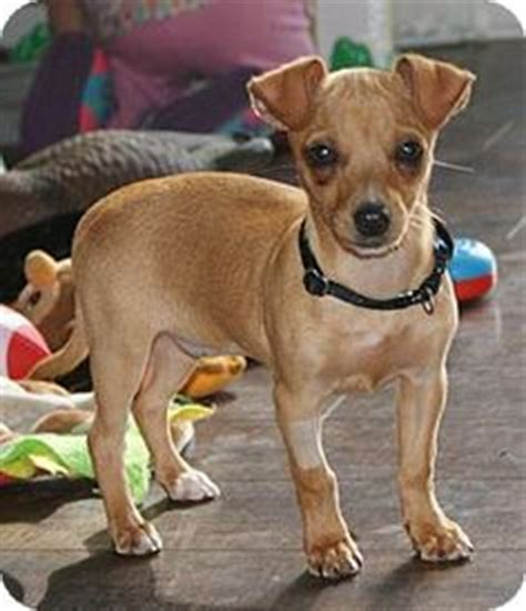 pomeranian chihuahua rat terrier mix i found on rat terriers chihuahua mix and rats