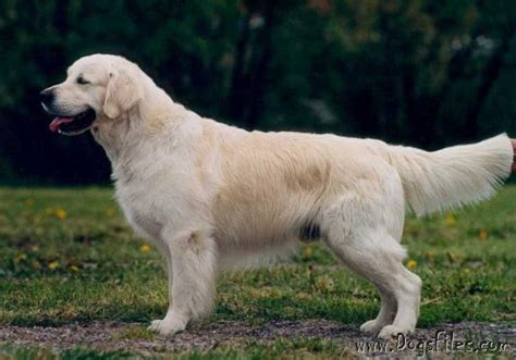 standfast golden retriever pedigree database tasvane charles henry 187 pedigree database golden retriever