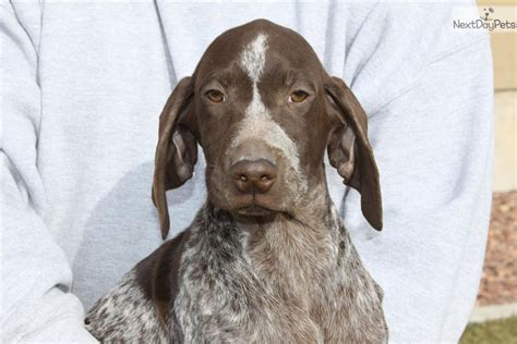 german shorthaired pointer puppies for sale near me german shorthaired pointer for sale for 800 near st george utah 4a139e30 bdf1
