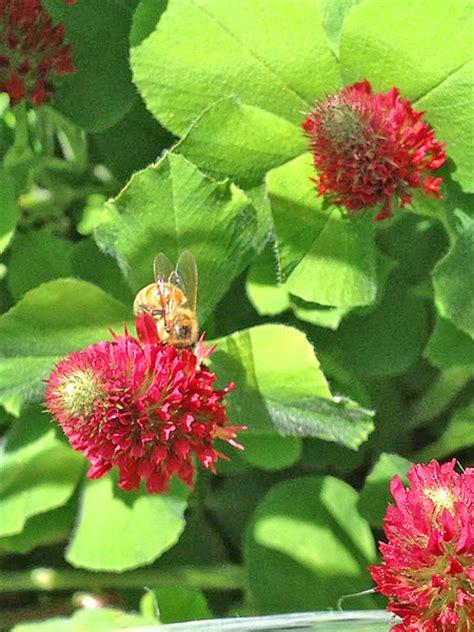 crimson clover  bloom honey bee suite