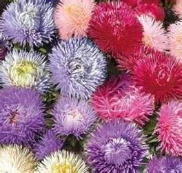 Biji Bunga Sweet Alyssum bibit bunga sweet sultan mixed