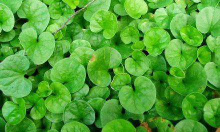 Daun Pegagan Kering Nutrisi Penambah Daya Ingat apa khasiat daun pegagan deherba