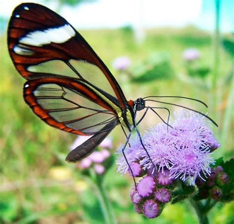 tigre y mariposa imagenes h 225 bitat de las mariposas de cristal im 225 genes y fotos
