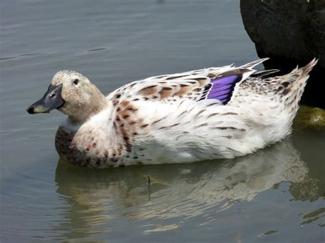 leucistic mallard duck aberrant animal colors pinterest
