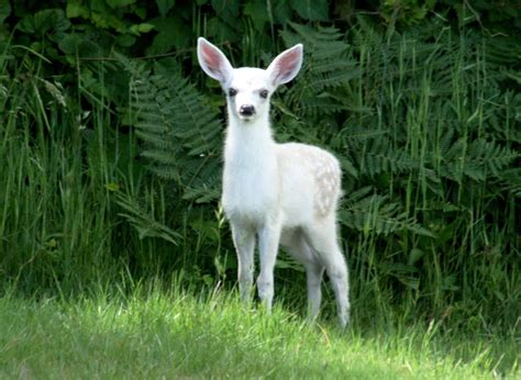 fawn images 2013 white fawn born mendonoma sightings