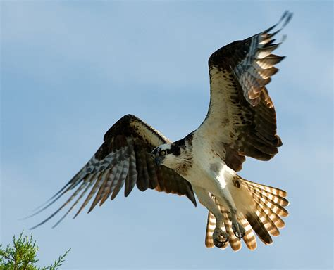 birds of the bible osprey ii lee s birdwatching