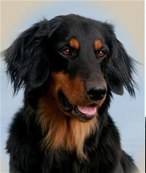big black breeds which big black and coloured breed is prettiest in that color dogs fanpop