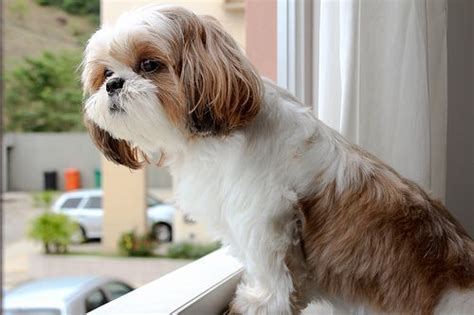 small dogs like shih tzu best 259 shih tzu heaven images on animals and pets