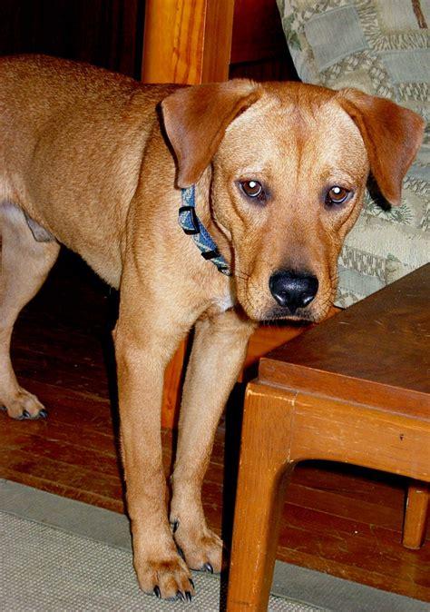 rhodesian ridgeback mix puppies lab and rhodesian ridgeback mix rhodesian ridge back dogs