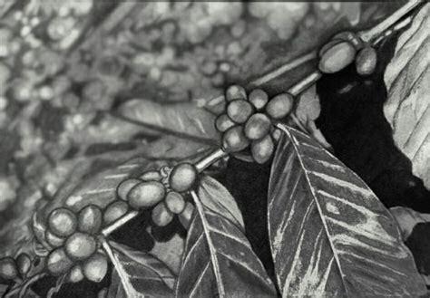 pohon kopi upi30 upistep deviantart