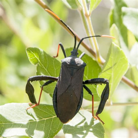 bed bugs control leaf footed bug www pixshark com images galleries with a bite