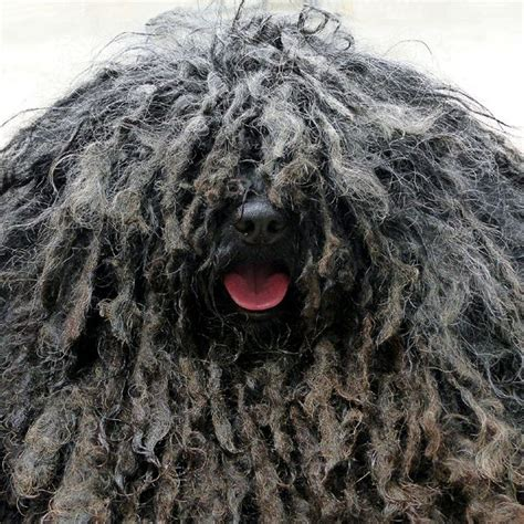 mop breed dogs with dreads a survey of mop breeds