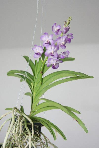 growing vanda orchid learn about the care of vanda orchids
