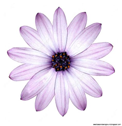 Flowery Top purple flowers white background wallpapers background