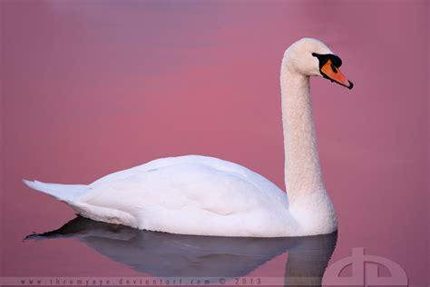 Swan Pink 7 pink swan by thrumyeye on deviantart