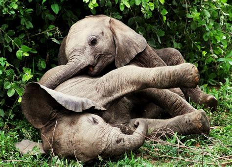 baby african elephants playing