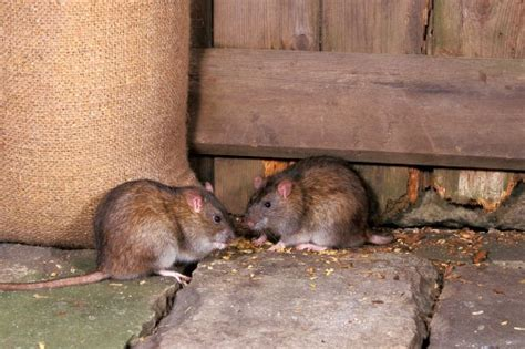 How To Get Rid Of Rats In Shed by Rats In The Garden Identification Treatment