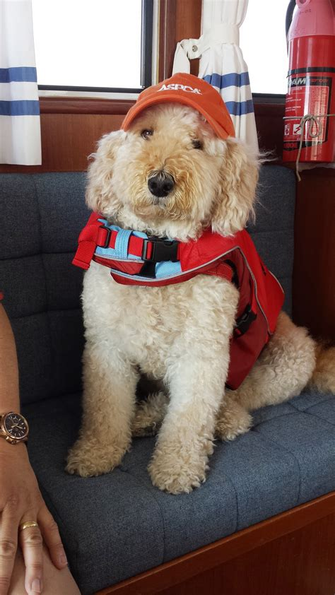 mini goldendoodles michigan pets aboard hachi the goldendoodle cruises lake michigan