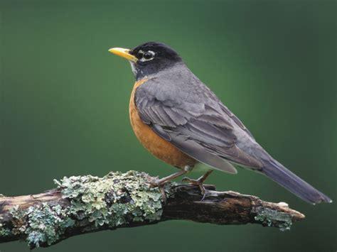 robin animal wildlife