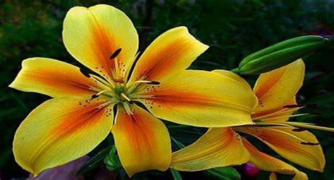 fotos de lirios flores picture to pin on pinterest pinsdaddy flor lirio allium floristas