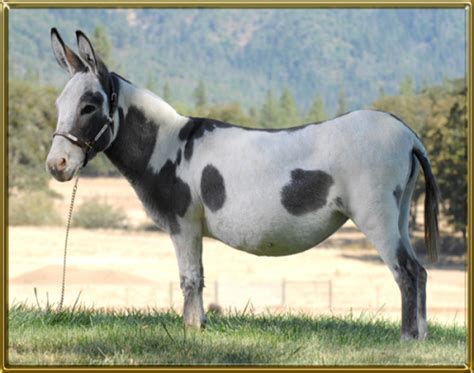 Catcher Rajut Merah 22 our brood jennets benson ranch miniature donkeys llc
