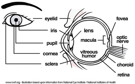eye anatomy coloring page worst pills