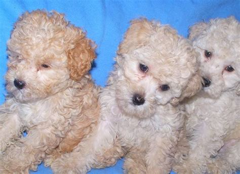 poodle puppies for adoption tiny poodles for adoption in new york