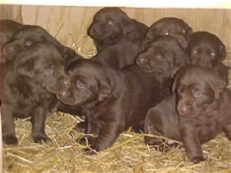 lab puppies for sale in illinois labrador retriever puppies for sale