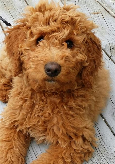 miniture golden doodle hair cuts finlee the mini goldendoodle puppies pinterest