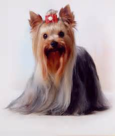 Pin yorkshire terrier chihuahua mix on pinterest