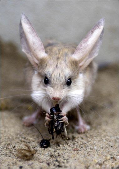 Eared Jerboa Endangered by 169 Best Images About Endangered Animals On
