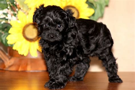 yorkie poo pictures and facts information about yorkie dogs breeds picture