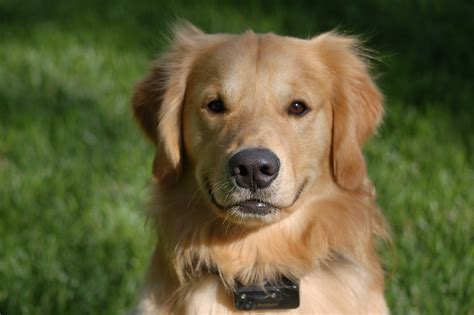 golden retriever to adopt i want to adopt a golden retriever dogs our friends photo