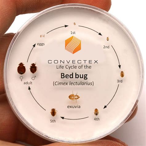 stages of bed bugs 1000 images about useful at home on pinterest