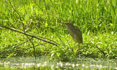 least bittern berks county by drew weber nemesis bird