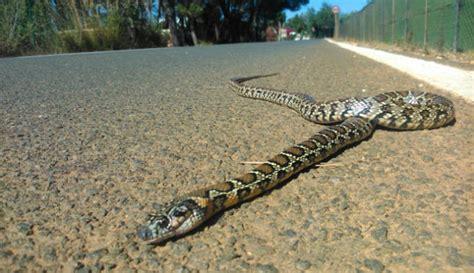 slang in tuin zaandam 2017 1800 slangen gevangen op ibiza ibiza vandaag