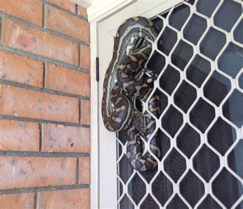 snakes in brisbane backyards the gap