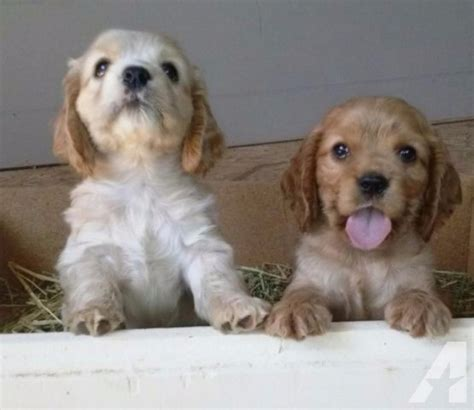 cocker spaniel puppies for sale in ca wonderful cocker spaniel puppies for sale dogs