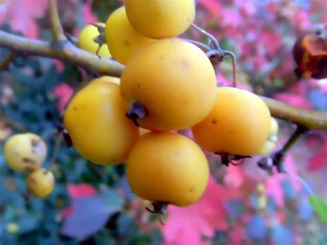 yellow fruit on tree bright color fruit tree in yellow jpg hi res 720p hd