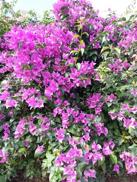 common flowering shrubs bougainvilleas bougainvillea glabra are one of the most