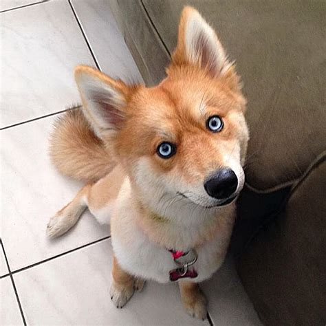 husky pomeranians meet fox a pomeranian husky mix who is taking the by 12 pics