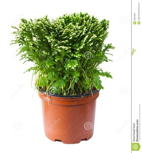 felce da vaso felce decorativa in un vaso fotografie stock immagine