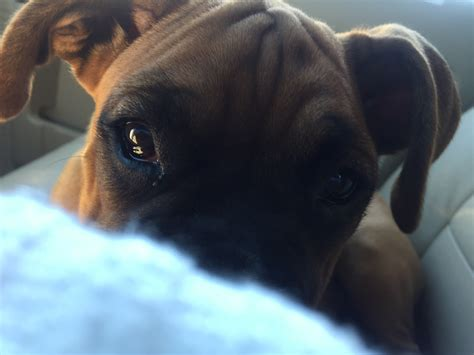 boxer puppies nc boxer puppies for sale in carolina