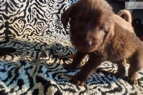 chocolate labradoodle puppies for sale near me labradoodle puppy for sale near chicago illinois 99305961 e461